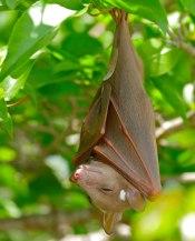bat rat