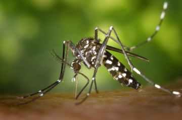 black white mosquito
